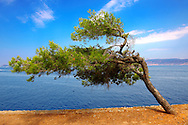 Wind blown tree on near Kamina, Hydra, Greek Cyclades Islands .<br /> <br /> Visit our GREEK HISTORIC PLACES PHOTO COLLECTIONS for more photos to download or buy as wall art prints https://funkystock.photoshelter.com/gallery-collection/Pictures-Images-of-Greece-Photos-of-Greek-Historic-Landmark-Sites/C0000w6e8OkknEb8