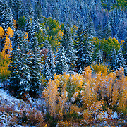 A forest along the highway near Marble, Colorado illuminated with vivid fall colors and recent snows.