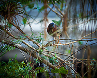 Green Heron perched on a branch in Big Cypress Swamp. Image taken with a Nikon Df camera and 400 mm f2.8 lens (ISO 800, 400 mm, f/4, 1/200 sec).