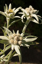 Close-up still life three small edelweiss flower