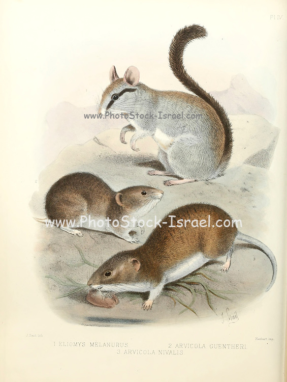 Asian garden dormouse or large-eared garden dormouse (Eliomys melanurus [Here as Eliomys melanura]) [Top], Günther's vole (Microtus guentheri [Here as Arvicola guentheri] [Centre] and European snow vole or snow vole (Chionomys nivalis, previously Arvicola nivalis and Microtus nivalis) [Bottom] From the survey of western Palestine. The fauna and flora of Palestine by Tristram, H. B. (Henry Baker), 1822-1906 Published by The Committee of the Palestine Exploration Fund, London, 1884