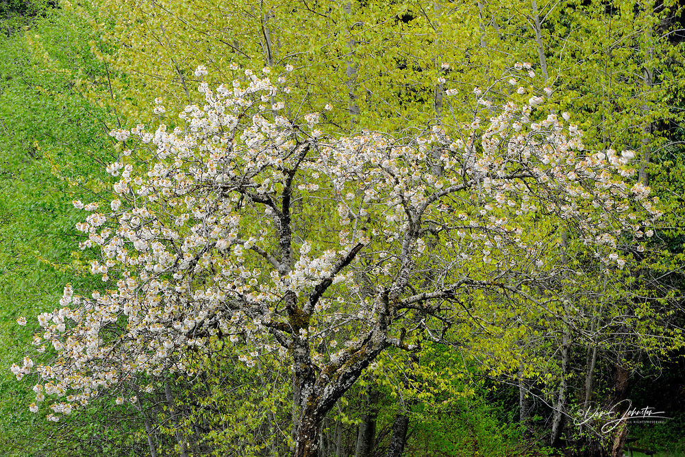 Flowering apple tree at the east end of Crescent Lake, Olympic NP, Elwha Unit, Washington, USA
