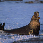 Northern Elephant Seal, (Mirounga angustirostris) Male bellowing challenge to another bull. California.