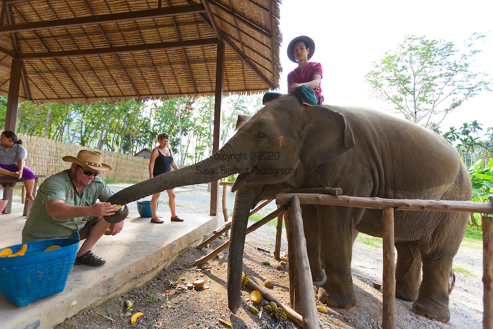 Elephant Hills Luxury Tented Camp in the rainforest in Southern Thailand near Khao Sok National Park. The Elephant Experience which offers an opportunity to interact, feed and wash the endangered Asian Elephant. Here, a guest feeds the elephant while the mahout oversees.