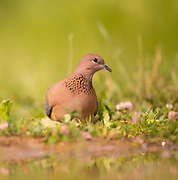 Laughing dove (Streptopelia senegalensis). This bird is native to sub-Saharan Africa, the Middle East, and India, where it is known as the little brown dove. It inhabits scrubland and feeds on grass, seeds and grain. Photographed in Israel in April