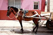 Skinny horse and cart in Gibara, Holguin, Cuba.