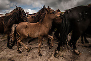 """Since ancient times, already documented by the historian and geographer Strabon 2000 years ago, in the beginning of the summer, in the mountains of Galicia, Spain, locals collect and tame wild horses.<br /> The ritual consist of with screaming and waving forcing the small Galician horse to descend to the valley from the mountains that they walk free all the year. Then, these horses, in a small round curro (enclosed which retain the horses) are branded and the horsehairs are cut- rapa in Galician.<br /> After a chase and fight inside the """"curro"""", the """"agarradores"""" control the beast making it possible to cut the hairs. <br /> Some of the horses are sold for the meat market and the rest is released to the wild, where the contact with humans is just going to happen in the following year.<br /> The most famous Rapa das Bestas is the one from Sabucedo, where around 700 horses are rounded in the curro and the festivities last for three days with thousands of visitors.<br /> This picture story is photographed in Sabucedo, Amil and in Canizadas."""