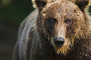 A close-up portrait of the face of a coastal brown bear (Ursus arctos), Katmai Peninsula, Alaska