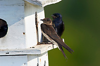 Female Purple Martin on nesting box Wakodahatchee Wetlands Delray Beach Florida