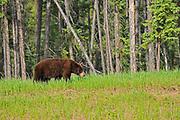 American black bear (Ursus americanus). Cinnamon phase. <br />Coal River<br />British Columbia<br />Canada