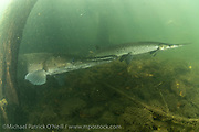 A captive adult Alligator Gar, Atractosteus spatula, swims next to an adult Longnose Gar,  Lepisosteus osseus, in a large outdoor tank at the Texas Freshwater Fisheries Center in Tyler, TX.