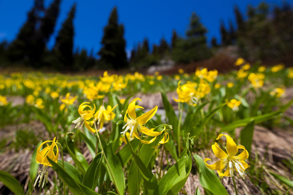 Yellow glacier lilies (Erythronium grandiflorum) on the slopes below Heather Pass, North Cascades Scenic Highway Corridor, Washington.