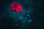 Poppy blossom against dark blue background