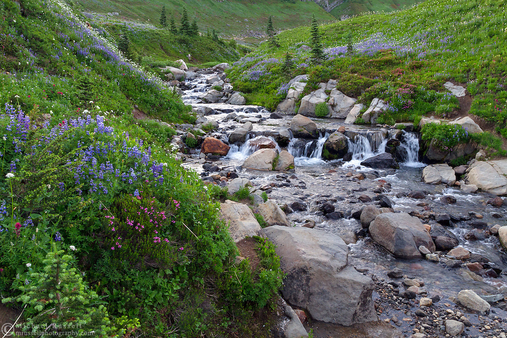 Lupines and other wildflowers surround a waterfall on Edith Creek at Paradise in Mount Rainier National Park, Washington State, USA