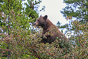 Cinnamon Phase Black Bear Cinnamon phase black bear in habitat