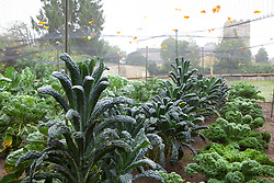 The brassica bed at Rousham House with Kale 'Cavalo Nero', Curly Kale 'Dwarf Green Curled' and sprouts protected by netting cage