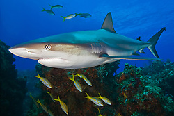 Caribbean Reef Shark, Carcharhinus perezii, swimming over coral reef ledges with yellowtail snappers, Ocyurus chrysurus, West End, Grand Bahama, Bahamas, Caribbean, Atlantic Ocean