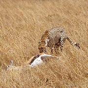 Cheetah, (Acinonyx jubatus) Mother with prey, (Thomson's Gazelle) For cubs.Masai Mara Game Reserve. Kenya. Africa.