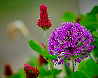 Purple Allium and Crimson Clover flowers.  Image taken with a Fuji X-H1 camera and 200 mm f/2 lens + 1.4x teleconverter (ISO 200, 280 mm, f/2.8, 1/420 sec)