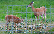 Deer munch on willow branches that were stacked up for their pleasure following a wind storm in Salmon, Idaho, on Friday, Sept; 2, 2016. (Cindi Christie/Cyanpixel)