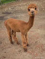 United States, Washington, Carnation, baby alpaca (cria) at farm