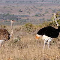 Africa, South Africa, Kwandwe. A pair of Southern Ostriches in Kwandwe Game Reserve.