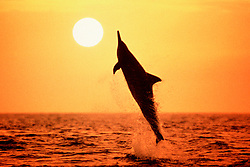 Long-snouted Spinner Dolphin, leaping at sunset, Stenella longirostris ( pc ), Kona, Big Island, Hawaii, Pacific Ocean