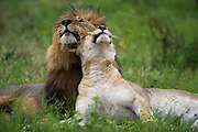 Lion (Panthera leo) & Lioness<br /> Marakele Private Reserve, Waterberg Biosphere Reserve<br /> Limpopo Province<br /> SOUTH AFRICA<br /> RANGE: