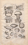 Jelly fish Illustration from 'Historiae Naturalis De Exanguibus Aquaticis  libri IV' (Natural History of Sea animals book 4) by Johannes Jonston. Published 1665.