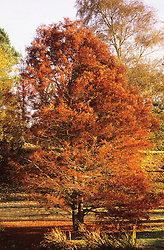 Taxodium distichum in autumn colour at Great Dixter - Swamp cypress