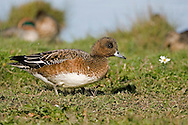 Wigeon - Mareca penelope L 45-47cm. Males is colourful and attractive. Forms large flocks outside breeding season. Sexes are dissimilar. Adult male has mainly orange-red head with yellow forehead. Breast is pinkish; rest of plumage is mainly finely marked grey except for white belly and black and white stern. In flight, has white patch on wing. Bill is pale grey and dark-tipped. In eclipse, resembles an adult female although white wing patch is still evident. Adult female is mainly reddish brown, darkest on head and back. Note, however, the white belly and stern. In flight, lacks male's white wing patch. Bill is grey and dark-tipped. Juvenile resembles adult female. Voice Male utters evocative wheeeoo whistle.