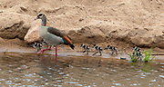 Male Egyptian goose (Alopochen aegyptiaca) with chicks in Kruger NP, South Africa.