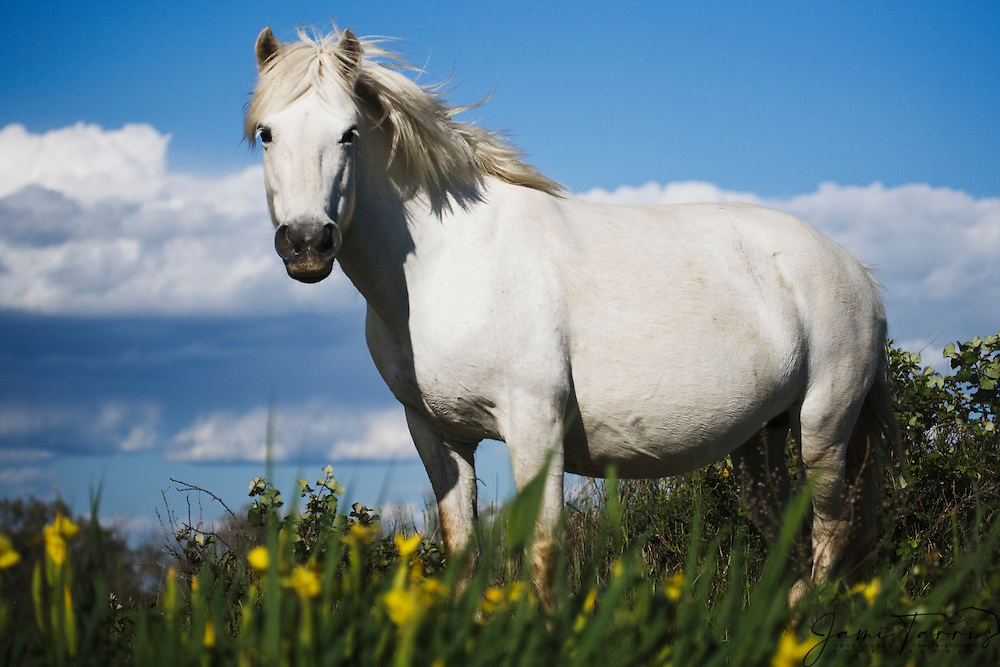 A white horse of the Camargue (Equus ferus caballus) standing in a in a field of yellow lilies, La Camargue, Provence, France