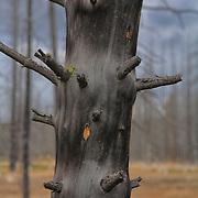 Burned Pine Tree Grove Close Detail - Yellowstone National Park