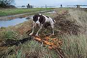 Springer Spaniel chewing on an old branch in a cold morning landscape on the Isle of Wight, England, United Kingdom.