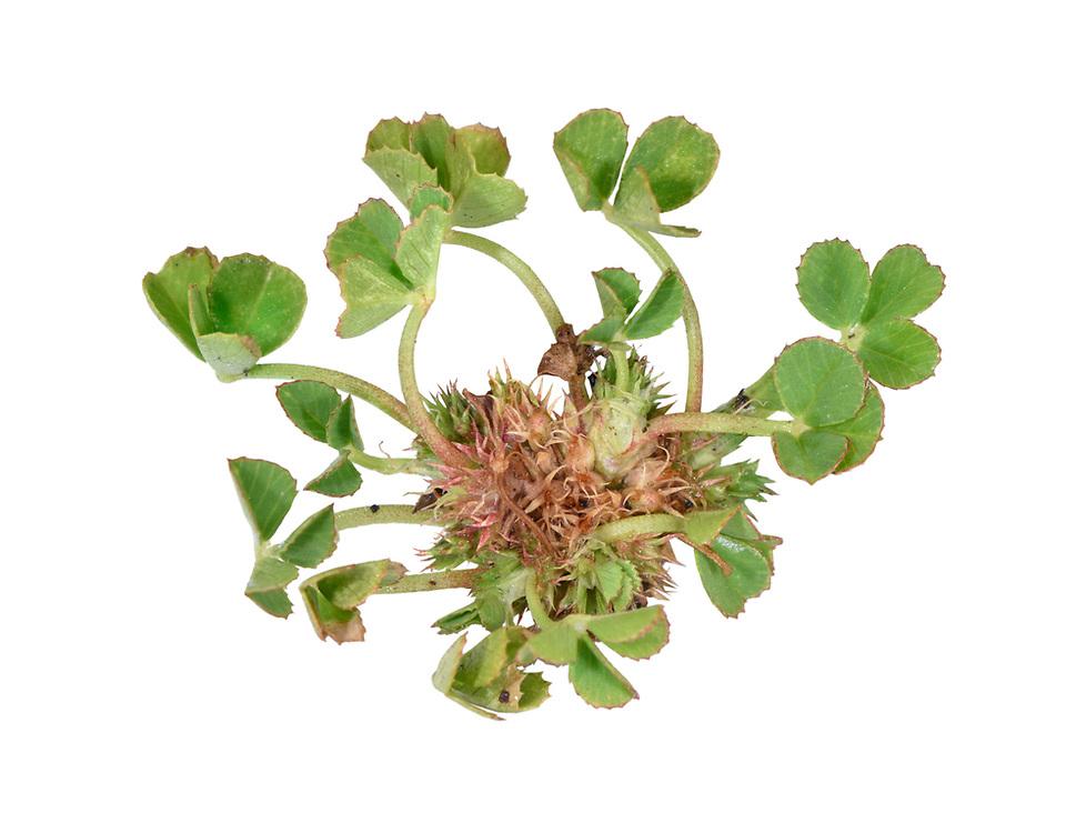Suffocated Clover - Trifolium suffocatum