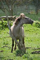Konik horse scratching on dead tree. Oostvaardersplassen, Netherlands. June 2009.  Mission: Oostvaardersplassen, Netherlands