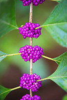 Close-up of the fantastically beautiful American beautyberry. These clusters of drupes (think blackberries) each contain a seed and are a very important source of food for many species of birds. The berries are edible to a point, but can be extremely astringent. they are well suited to making jams and wine, however. The roots can be used to make an herbal tea, and it's said that the crushed leaves can repel mosquitos when rubbed on the skin. This perfect example of a beautyberry in fruit was found in Palm Beach County on a cool fall afternoon.