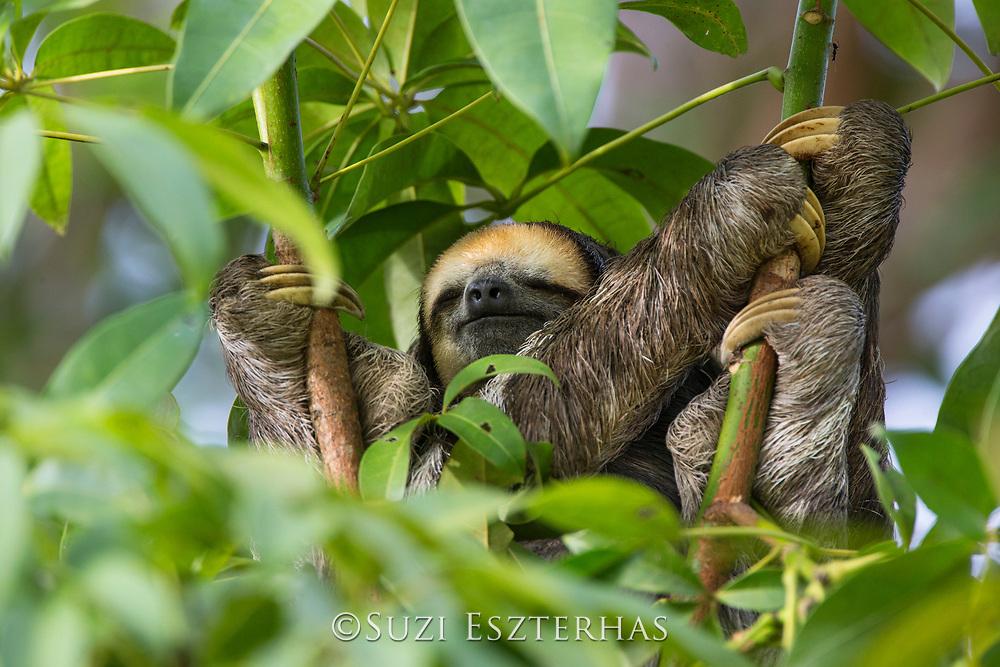 Pale-throated sloth<br /> Bradypus tridactylus<br /> male<br /> Sloth Island, Guyana