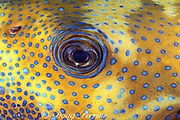 bluespotted, blue-spotted, or starry puffer, Arothron caeruleopunctatus, Layang Layang Atoll, Malaysia <br /> ( South China Sea )