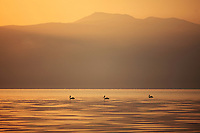 Three Great white pelican, Pelicanus onocrotalus, silhouetted against  the sunrise over Mount Golema (2179m) and Mount Pelister (2600m ) in the Pelister National Park. View from Stenje village across Lake Macro Prespa (850m). <br /> Galicica National Park, Macedonia, June 2009<br /> Mission: Macedonia, Lake Macro Prespa /  Lake Ohrid, Transnational Park<br /> David Maitland / Wild Wonders of Europe