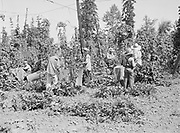 5596Hop pickers at work in the yard at the E. Clemens Horst hop ranch near Independence, Oregon. September 1, 1942.