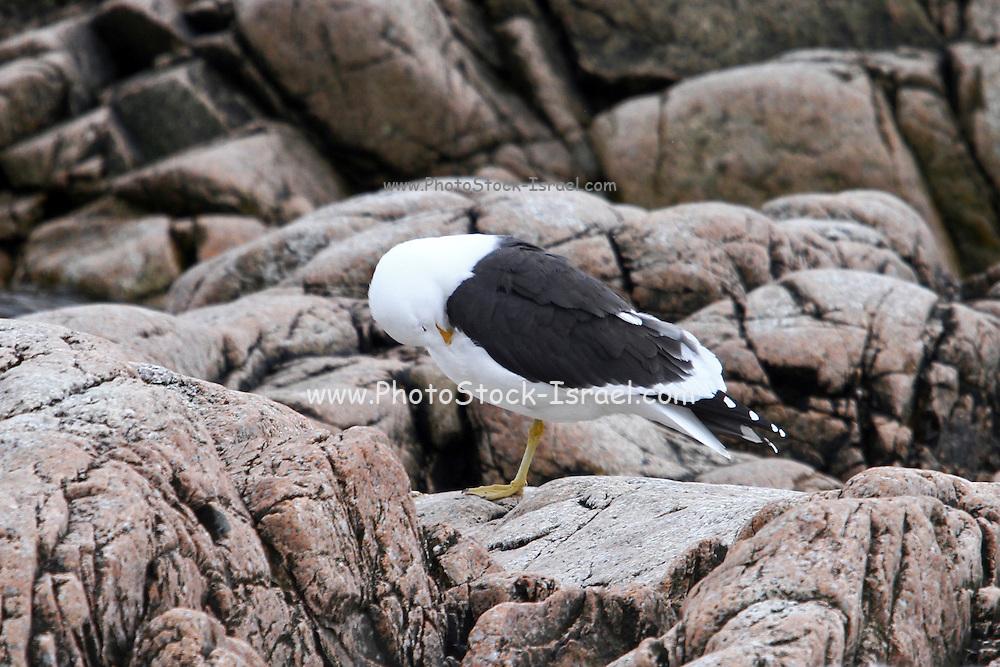 Nesting kelp gulls (Larus dominicanus) Photographed in Neko Harbor, Antarctica