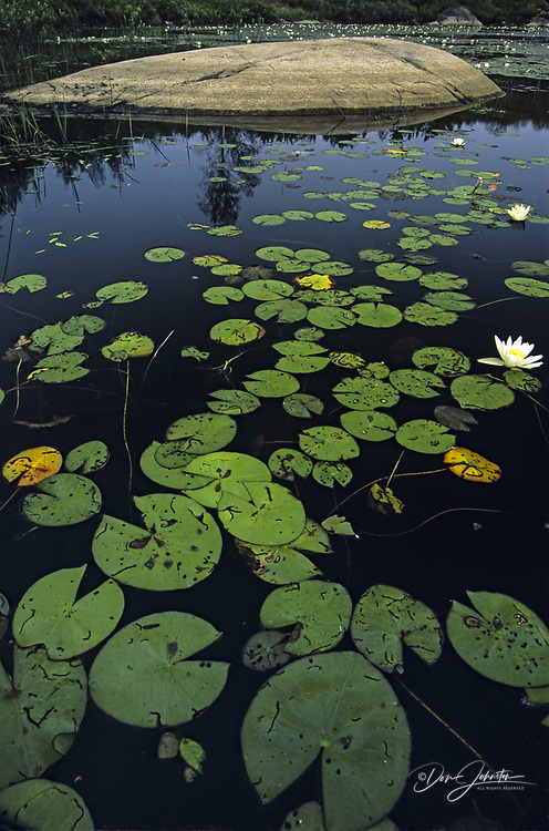 Water lilies and rock outcrop in large beaver pond, Whitefish, Ontario, Canada