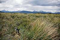 A Magellanic Penguin walks in the tall grass on the Isla Martillo near Estancia Harberton and Ushuaia, Argentina. The island is the home of one of the largest penguin rookery in Tierra del Fuego.