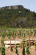 Domaine Clos Marie. Pic St Loup. Languedoc. Carignan grape vine variety. France. Europe. Vineyard.