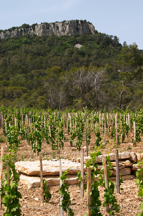 Domaine Clos Marie. Pic St Loup. Languedoc. Carignan grape vine variety. France. Europe. Vineyard.