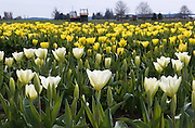 Yellow and white tulip flowers bloom in the Skagit River Delta, Washington, USA between the towns of Mount Vernon and La Conner.