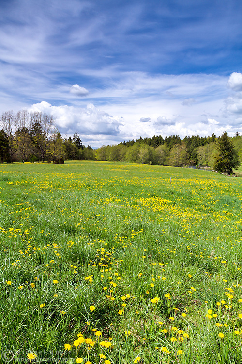 Dandelions (Taraxacum officinale) flowers in spring near McLean Pond at Campbell Valley Park in Langley, British Columbia, Canada