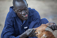 Buoi Machiek, Community Health Livestock Worker, gives some goats a check up in Bor County, South Sudan. The Jonglei Food Security Program, JFSP, in Jonglei, South Sudan provideds Machiek with regular training. The JFSP aims to address the root causes of hunger in Jonglei State with cross-cutting programming that incorporates disaster risk reduction into the agriculture, livelihoods and income generation interventions. The JFSP targets highly vulnerable families, organizing them into farmer producer groups to disseminate information about new and sustainable technologies for increasing crop production and improving livelihoods. <br /> Generously funded by the American people through USAID, the JFSP is a three-year program that will run through 2014.